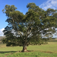 Morten Bay Fig at Collins Creek Kyogle By DaleysFruit.com.au [All Rights Reserved]