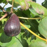 Fig - Catalogna By DaleysFruit.com.au [All Rights Reserved]