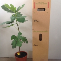 Fig Prestons Prolific For Sale 165mm pot