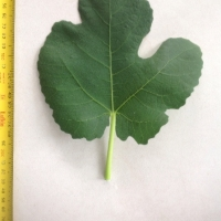 Leaf of the Fig Prestons Prolific