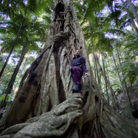 Strangler figs are an amazing spectacle in Australian Rainforests