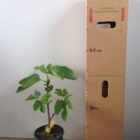 Fig White Adriatic For Sale (Size: Large)  (Cutting Grown)