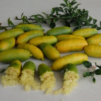 Fingerlime Sunshine Yellow fruits