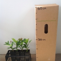 Firewheel Tree For Sale (Size: xSmall)  (Grown from Seed)