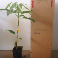 Flame Tree - Grafted For Sale (Size: Medium)  (Grafted)