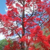 Flame tree in flower