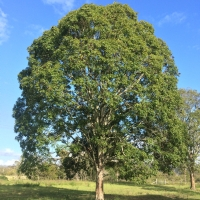 Teak tree at Newpark Kyogle