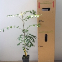Foambark For Sale (Size: Medium)  (Grown from Seed)
