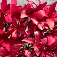 Frangipani Red By Swaminathan [CC BY 2.0 (https://creativecommons.org/licenses/by/2.0/)] From Flickr https://flic.kr/p/FoFGE