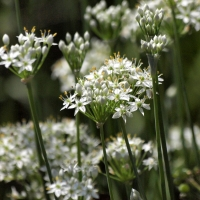 Garlic chives - Allium tuberosum By coniferconifer [CC BY 2.0 (https://creativecommons.org/licenses/by/2.0/)] From Flickr https://flic.kr/p/xjTi95