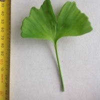 Leaf of the Ginkgo