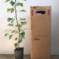 Ginkgo For Sale (Size: Medium)  (Grown from Seed)