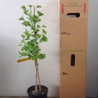 Ginkgo - Grafted Male For Sale (Size: Large)  (Grafted)