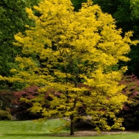 Gleditsia Sunburst in Yellow flower By Nation Wide Trees  [All Rights Reserved,Supplier of DaleysFruit.com.au]