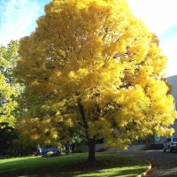Golden Ash Fraxinus oxycarpa By Visitor7 [CC BY-SA 3.0 (https://creativecommons.org/licenses/by-sa/3.0)], from Wikimedia Commons