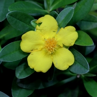 Hibbertia Guinea Vine By Karelj [CC BY-SA 3.0 (https://creativecommons.org/licenses/by-sa/3.0) or GFDL (http://www.gnu.org/copyleft/fdl.html)], from Wikimedia Commons