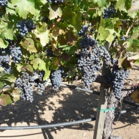 Beautiful bunch of Cabernet Savignon grapes