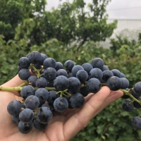 Chambourcin grape being held up by hand showing the large number of grapes that you get on each bunch of grapes