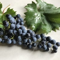 Chambourcin grape being displayed with the leaves and the grape bunches