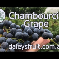 Chambourcin Grape Vines Growing in Australian Backyards YouTube Video By DaleysFruit.com.au [All Rights Reserved]