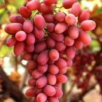 Grape - Crimson Seedless