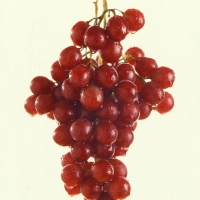 Grape Flame Seedless By United States Department of Agriculture. [Public Domain] From Wikimedia Commons
