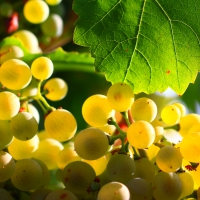 Blanco Grapes not exact variety By Chiqui Crespo [CC BY-SA 4.0  (https://creativecommons.org/licenses/by-sa/4.0)], from Wikimedia Commons