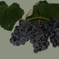 Isabelle Black Grape Vine for Sale By DaleysFruit.com.au [All Rights Reserved]