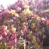 Grape Ornamental Crimson Glory compliment of pinterest