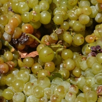 Muscat Grapes By David McSpadden [CC BY 2.0 (https://creativecommons.org/licenses/by/2.0/)] From Flickr https://flic.kr/p/oK3qND