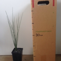 Grass Tree For Sale (Size: Medium)  (Grown from Seed)