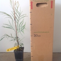 Grevillea Just Rosy For Sale Mega Tube