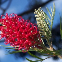 Grevillea Pink Surprise By Nelson~Blue [All Rights Reserved, Used by Permission] From Flickr https://flic.kr/p/2X6nHp