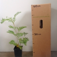 Grevillea Robyn Gordon For Sale (Size: Medium)  (Cutting Grown)