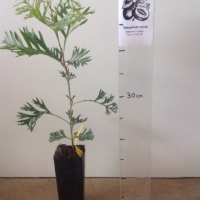 Grevillea Robyn Gordon For Sale (Size: Small)  (Cutting Grown)