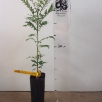 Grevillea Silky Oak For Sale Super Tube