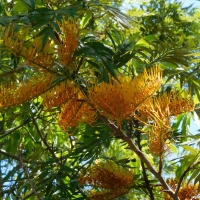 Silky Oak Flowers
