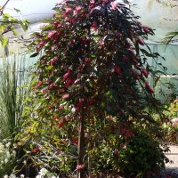 Grevillea Standard Royal Mantle