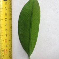Leaf of the Grumichama Black