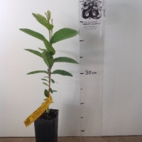 Guava - China Pear For Sale (Size: Small)  (Grown from Seed)