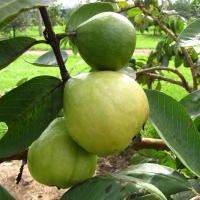 Guava - Mexican Cream - tree By DaleysFruit.com.au [All Rights Reserved]