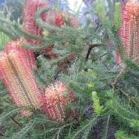 Heath Banksia By Merrillie Redden [All Rights Reserved, Used by Permission] via Flickr https://flic.kr/p/sW5eth