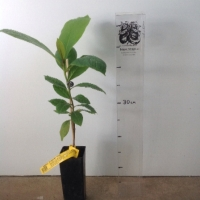 Indian Almond Tree For Sale (Size: Small)  (Grown from Seed)