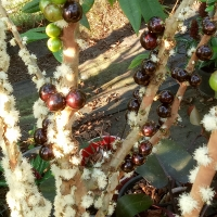 Flowering and fruiting at differenct stages on Costado Jaboticaba