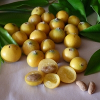 Jaboticaba - Yellow By DaleysFruit.com.au [All Rights Reserved]