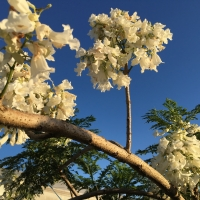 The mother plant that we use to create our White Jacaranda Flowering Trees for sale here at Daleys Fruit Tree Nursery