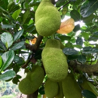 Brinsmead Jackfruit in the daleys fruit tree orchard DaleysFruit.com.au By DaleysFruit.com.au [All Rights Reserved]