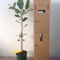 Jakfruit - Crisp Seedling For Sale (Size: Large)  (Grown from Seed)