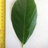 Leaf of the Jakfruit Tweed Crisp