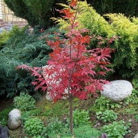 Acer palmatum atropurpureum By Jerzy Opioła [GFDL (http://www.gnu.org/copyleft/fdl.html) or CC BY-SA 4.0  (https://creativecommons.org/licenses/by-sa/4.0)], from Wikimedia Commons